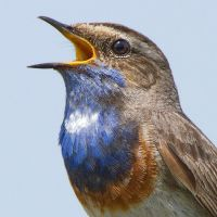 Bluethroat by Jamie-MacArthur