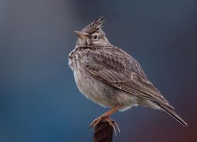 looking sharp - Crested Lark by Jamie-MacArthur
