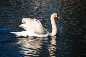 Mute Swan by StephGabler