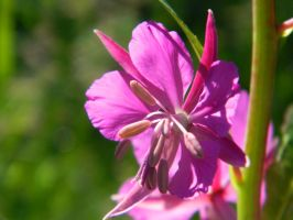 Fireweed bloom by cynotureman
