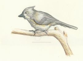 Tufted titmouse by Srduffman001