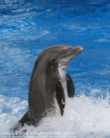 Dolphin by KellyWPhotography