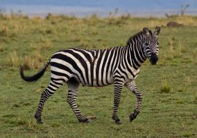 A Zebra by greenjinjo