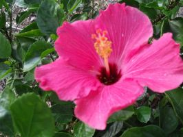Hibiscus by abbyL13