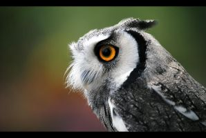 White-Faced Owl by SarahVlad