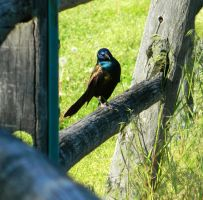 Common Grackle by SlateGray