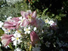 Columbine and Snow on the mountian by Silversugar444