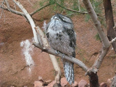 Frogmouth by BelovedStock