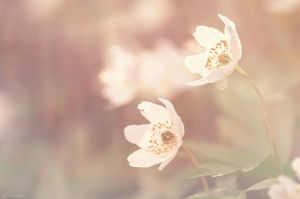 Anemone Reine du Printemps II by Sweet-Nature
