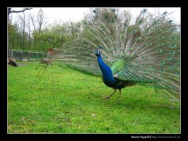 Peacock by maurice