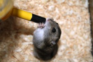Hamster drinking *-* by Canchupotterica