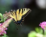 Eastern Tiger Swallowtail VII by David-A-Wagner