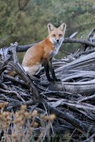 Red Fox by greyviolett