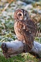 Frosty Owl by mansaards