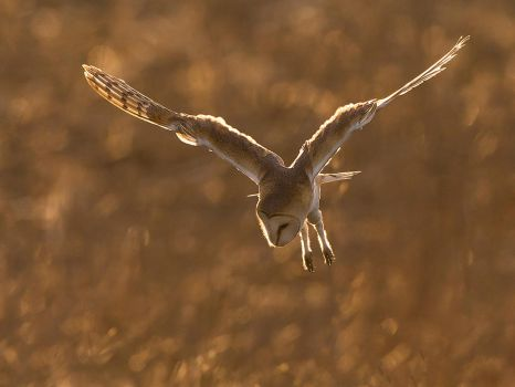 Barn owl Hunting by Jamie-MacArthur