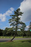Leaning Pine Tree by Maggiesdaisy