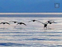 Canadian Geese Coming In For Landing by wolfwings1