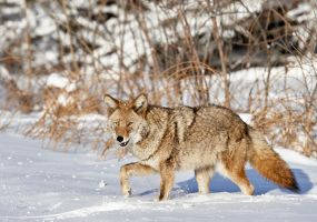 Smiley Coyote by JestePhotography