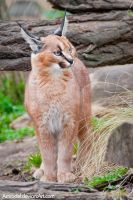 Little Caracal III by amrodel