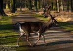 Beautiful Stag crossing my way by AngelOfDarkness089