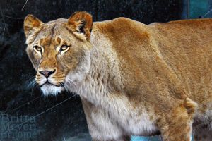 Lioness2 by brijome