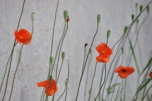 Poppies by GordonBeer