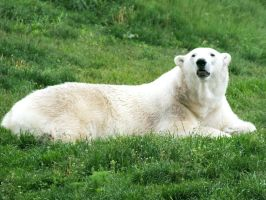 Toronto Zoo: Polar Bear I by d-estruct