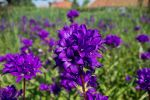 Violet Flowers by sztewe