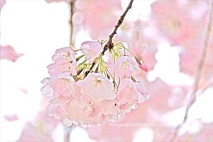 Cherry You Blossom II by joiachi