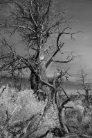 Infrared Canyon Tree 3 by DavidLPhotography