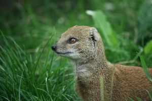 Yellow Mongoose 3 by Sabbie89