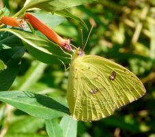 Cloudless Sulphur..,,. by duggiehoo