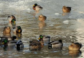A Frozen Flock by Brian-B-Photography