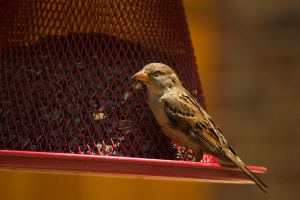 Female House Sparrow July - 2014 - 10 - 1 by toshema