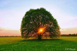 summer linden in the evening sun by MT-Photografien
