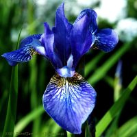 Iris Blue by EarthHart