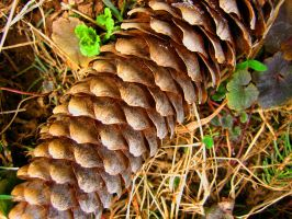 Pine Cone by Holly6669666