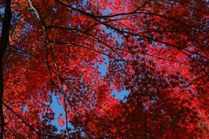 Japanese Maple by YURAN-snow