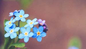 forget-me-not.2 by Drvall