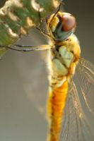 Dragonfly by esthetic-of-sight