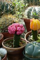 Gymnocalycium Graft by Undistilled