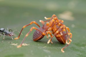 Harvestman Sex ( MG 4106 copy) by orionmystery