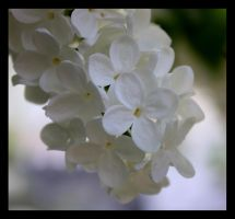 white lilac by crissial