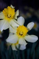 Daffodil Forest_0208 by silverspoken2005
