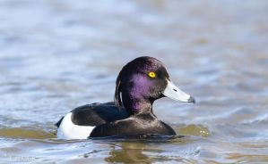 Tufted Duck 4 by ErikEK