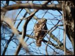Broad-Winged Hawk. by Sparkle-Photography