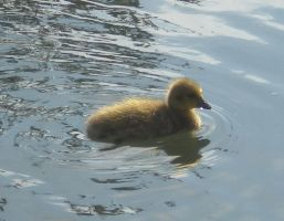 Stock - Duckling IV by rockgem
