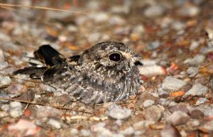 Sickle-winged Nightjar by BrunoDidi