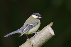 Great Tit by joeelway