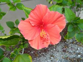 Hibiscus by Elerow